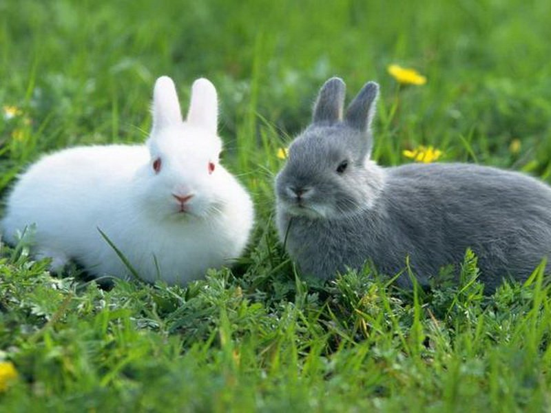 Сурепка корм для кроликов
