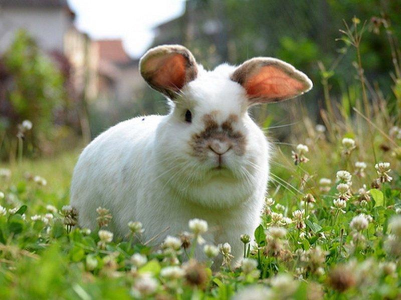 Клевер корм для кроликов