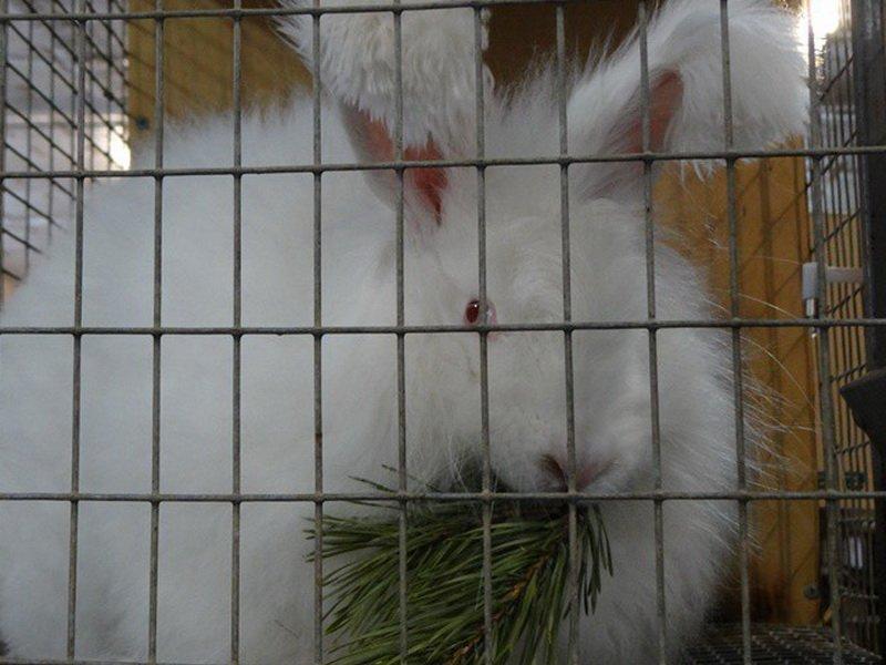 Хвоя корм для кроликов