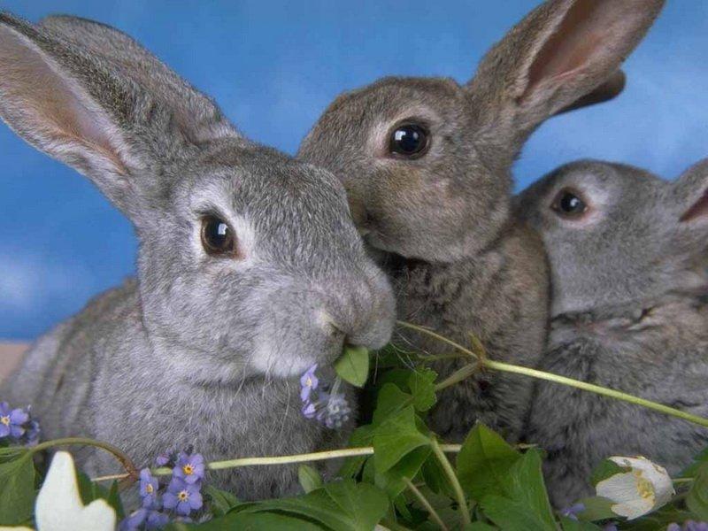 Вьюнок полевой корм для кроликов