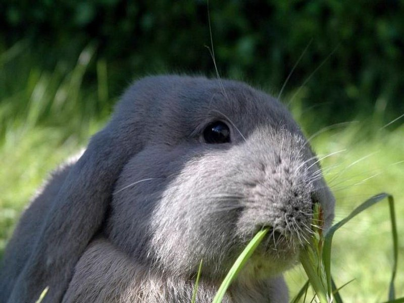 Горец  корм для кроликов
