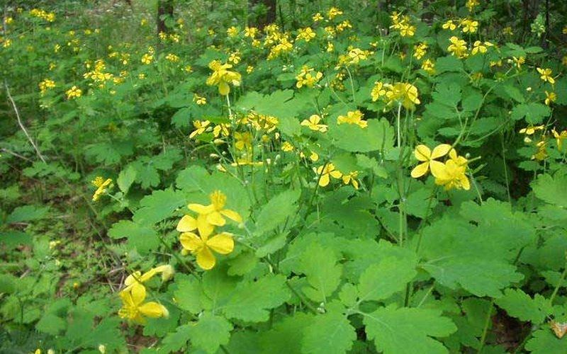 Травы, ядовитые для кроликов: фото и названия растений