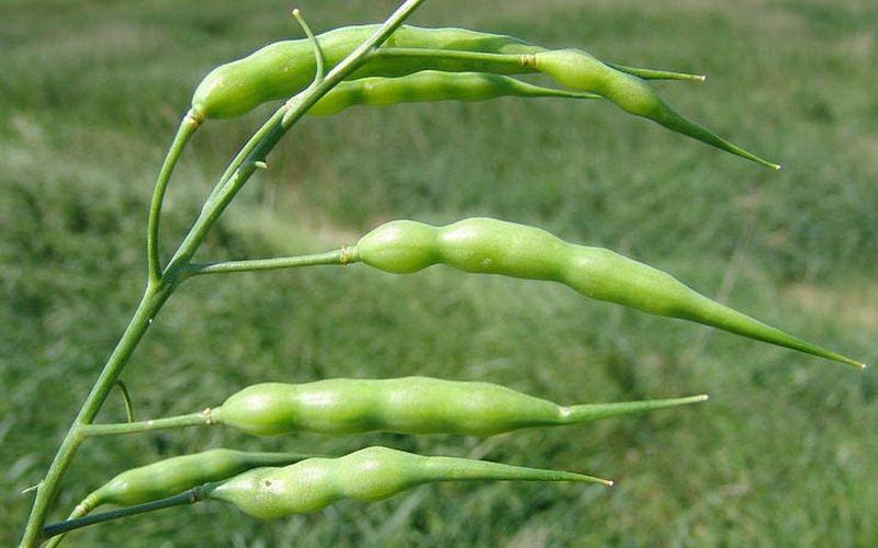 Травы, ядовитые для кроликов: фото и названия растений фото