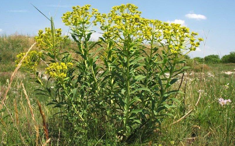 этого полученной ядовитые полевые растения фото и названия маги используют