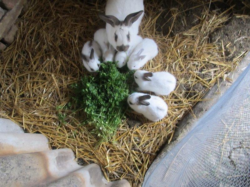 Петрушка для кроликов