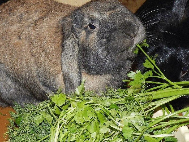 Сельдерей  для кроликов