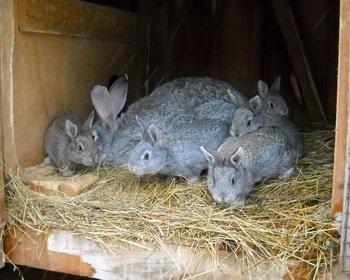 Разведение и содержание кроликов: советы для начинающих