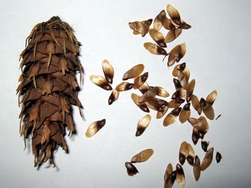 Семена ели