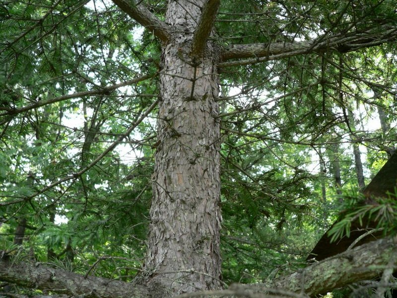 Кора у обыкновенной ели серая