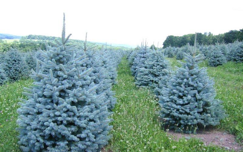 Голубая ель: описание вида и фото декоративного дерева