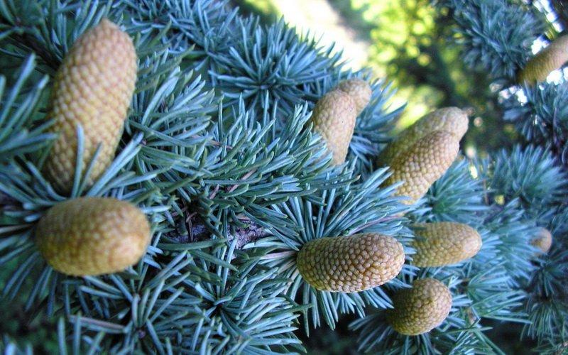 Голубая ель: описание вида и фото декоративного дерева фото