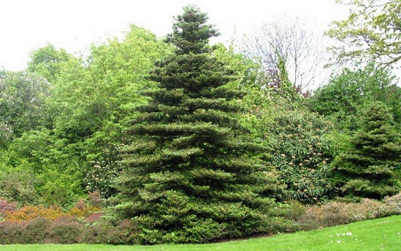 Вечнозеленое хвойное дерево пихта и его фото