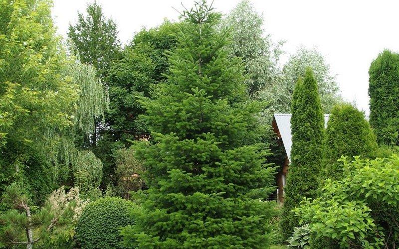 Дерево сибирская пихта: фото и описание