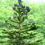 Пихта тоже дерево смолистое