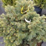 Псевдотсуга: фото, виды и способы ухода за деревом