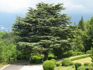 Дерево кедр: описание видов и их выращивание