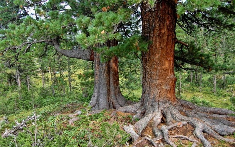 Кедр сибирский: фото и описание дерева
