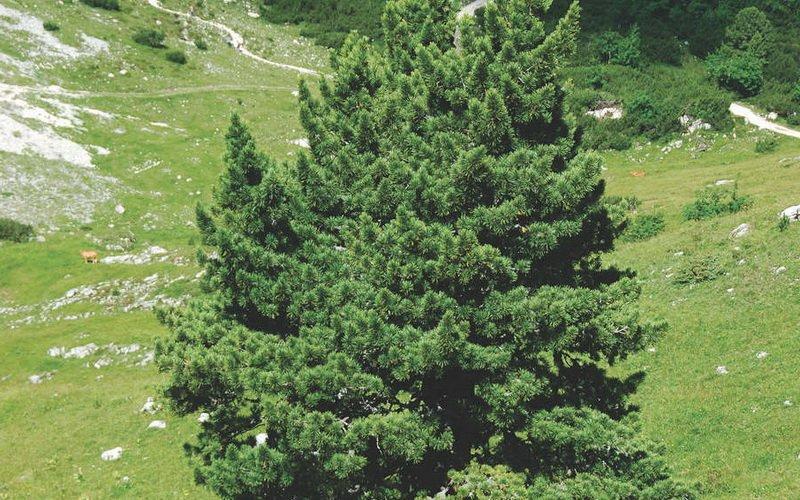 Фото и описание европейского кедра