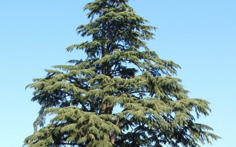 Кедровый стланик и другие разновидности кедра: фото и описание фото