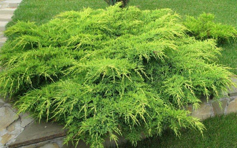 Как выглядит декоративное растение можжевельник: фото и описание