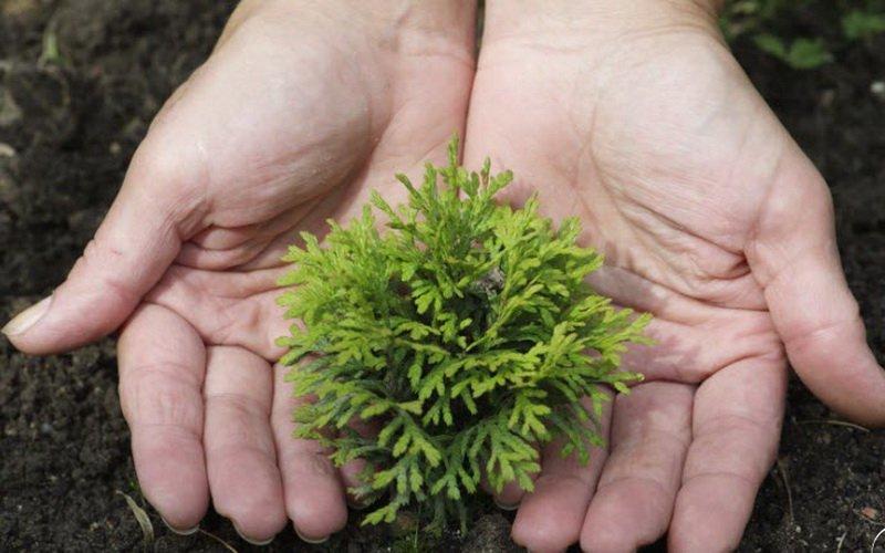 Размножение туи семенами и черенками (с видео)