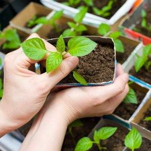 Внесение удобрений в апреле для подкормки растений и уход за рассадой