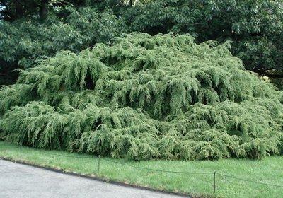 Хвойное дерево тсуга: виды и сорта