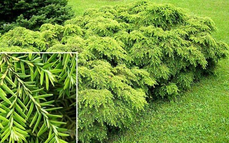 Описание дерева тсуга и его размножение