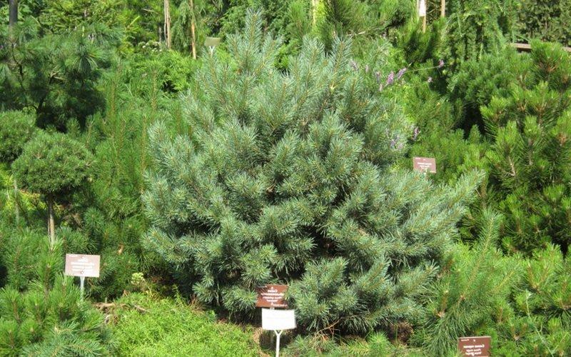 Как выглядит сосна: фото и описание внешнего вида дерева