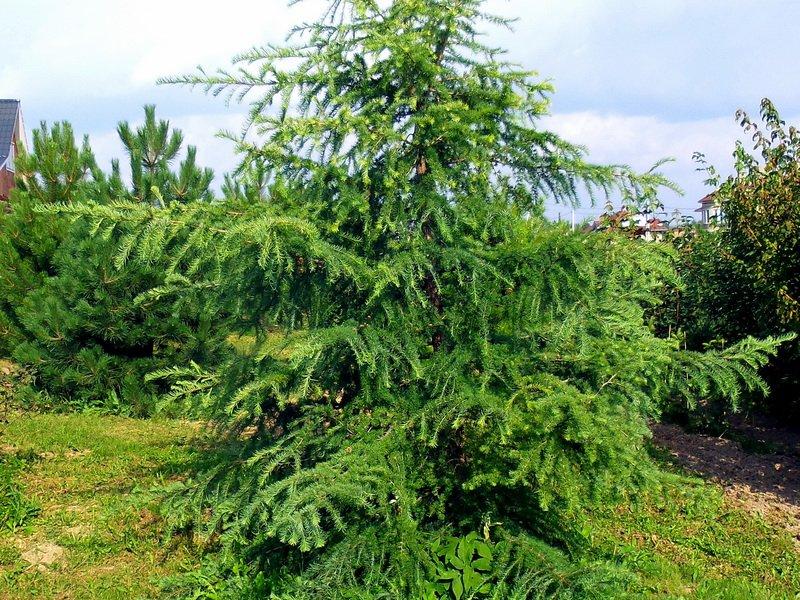 Дерево лиственница фото для детей