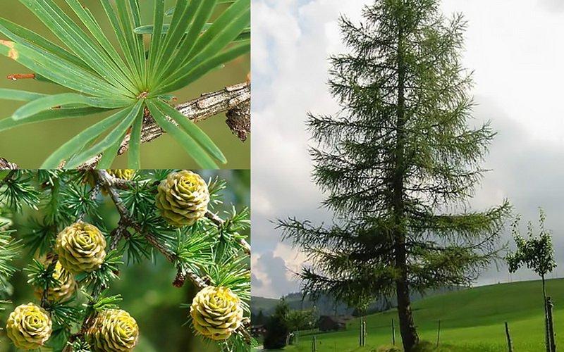 Декоративные качества дерева лиственница (с фото)