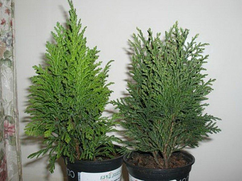 Комнатные хвойные растения, с успехом выращиваемые дома