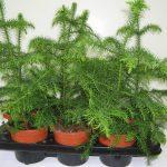 Комнатные хвойные растения: фото