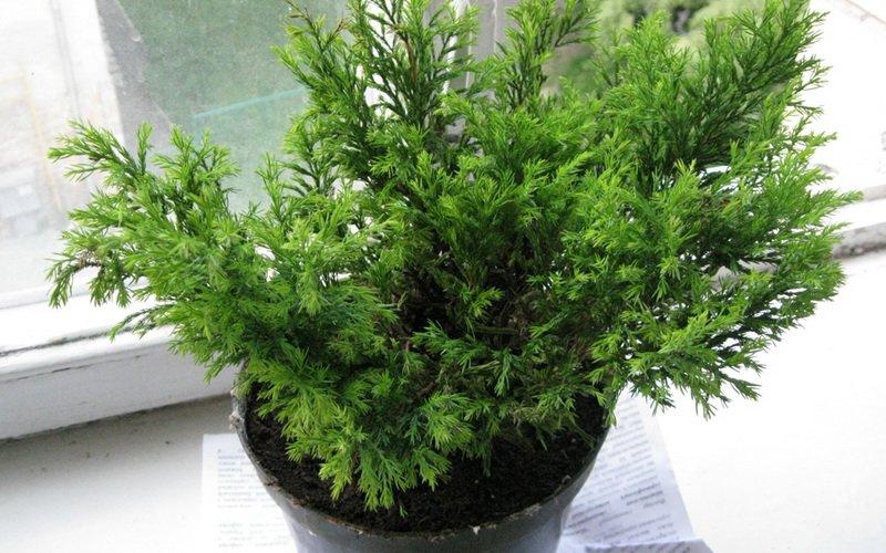 Выращивание комнатного хвойного дерева кипарис крупноплодный