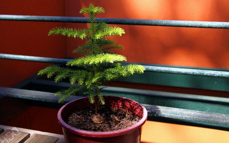 Как размножить хвойное комнатное растение араукария эксцельза в домашних условиях (с фото)