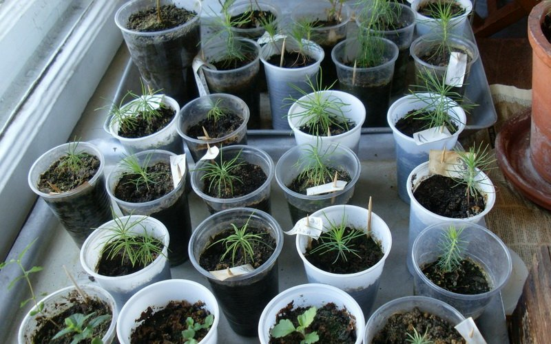 Размножение хвойных растений семенами (с видео)