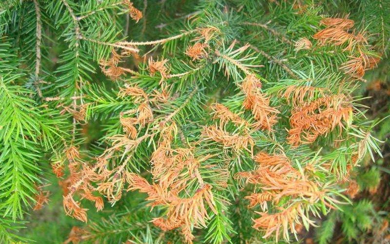 Болезни хвойных растений и методы борьбы с ними