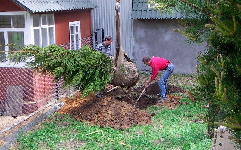 Как и когда можно сажать хвойные деревья: правильная посадка деревьев