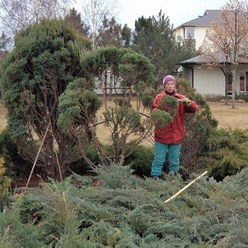 Чем ещё удобрять хвойные деревья: препарат «Акварин»