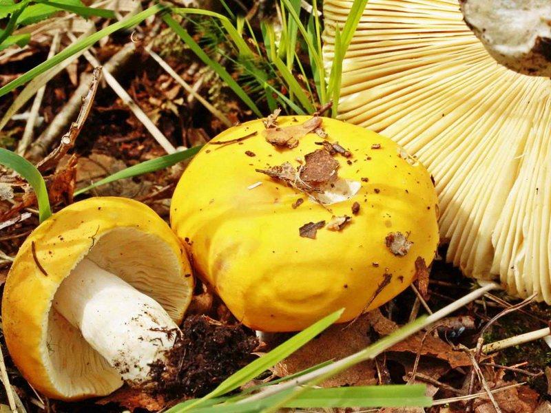 Грибы сыроежки желто-охряные