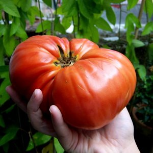Как самостоятельно получить семена томатов и сладкого перца