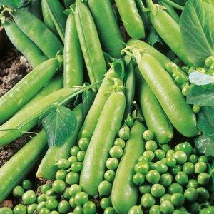Подготовка семян баклажанов и как собрать семена гороха фото