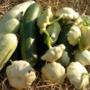Как получить семена огурцов, кабачков, патиссонов и тыквы