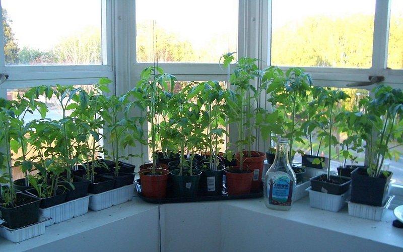 Как правильно освещать рассаду томатов 90
