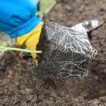 Тонкости высадки рассады в грунт