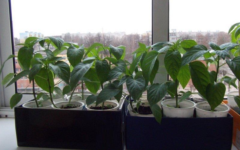 Выращивание рассады в квартире на подоконнике