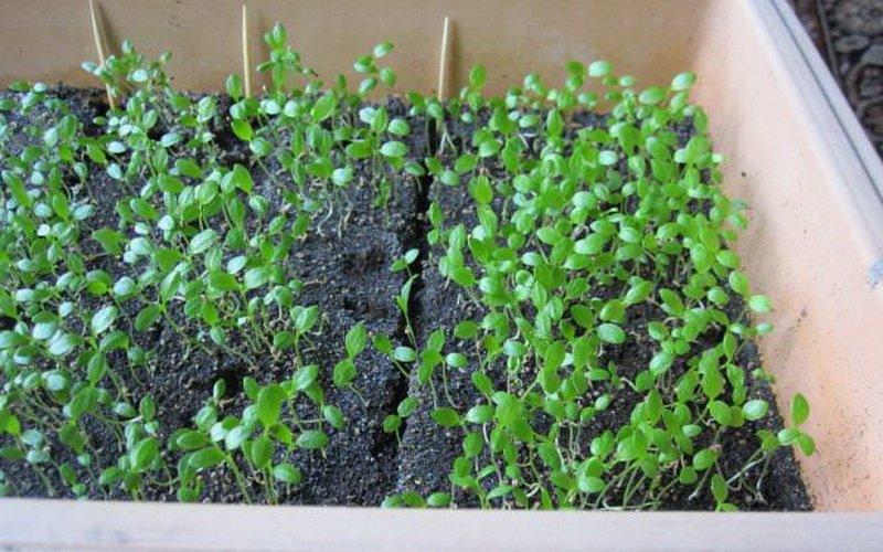Посев семян корневого и черешкового сельдерея на рассаду