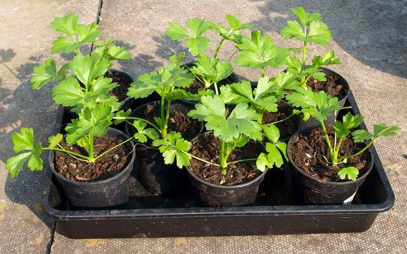 Как выращивать рассаду черешкового и корневого сельдерея