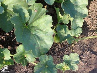 Технология выращивания рассады дынь из семян