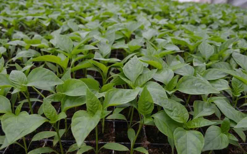 Условия выращивания рассады болгарского перца
